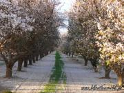76-California. Almond orchard